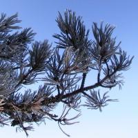 101422_5083-pine-bough